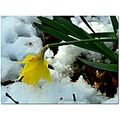daffodil flower yellow snow