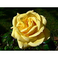 Flowers Rose Yellow