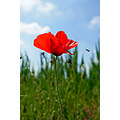 Poppy Insect Flower Sky Grass