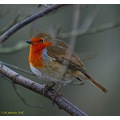 robin gardenbird bird wildlife
