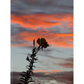 wild flower silhouetted sunrise cannington western australia littleollie