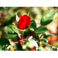 red rose redrose