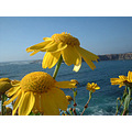 Crown Daisies overlooking the Pacific