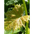 Grape Leaf Plant
