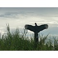 during the rainy season the black vultures sun themselves in the morning to dry their wings.