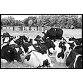 essex UK cows black white