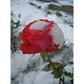 rose snow nature