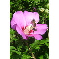 hibiscus two bees