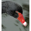 swan black eye reflection bird animal nature wildlife feathers wings