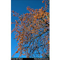 stlouis missouri us usa fall colors trees deep blue sky CCP 121310