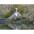 grey heron bird nature wildlife