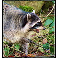 nature racoon stanly park