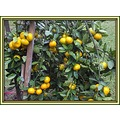 Mandarin Oranges (Satsuma) are getting ripe in my part of the world.  As you can see, I've had to...