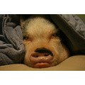 the personality of a pig