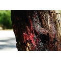 trees Red Gum bleed perth littleollie