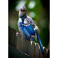 bird jay wildlife pankey wildspirit nature avian carlsbirdclub