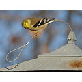 bird goldfinch feeder birdfeeder wildlife