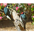 May 8, 2008, Acorn Woodpeckers