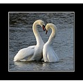 love heart nature swan swans muteswan somerset somersetdreams