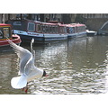 black headed gull water barge