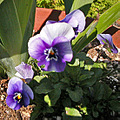 pansies pansy garden gardenfph light sunlight shadow shadows