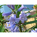 Flower Bluebells