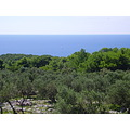 Croatia Losinj Adriatic sea oliva pine tree