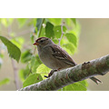 Reifel Delta BC birds whitecrowned sparrow