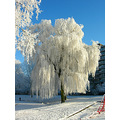 snow willow netherlands zoetermeer
