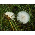 flower dandelion white