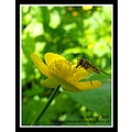 Nature Flower Insect Buttercup Hornet Spideyj