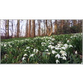 snowdrops forest woodland