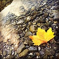 Autumn mapleleaf leaf water stones fallingleaf yellowleaf yellow idro lake