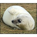 seal sealpup donnanook