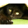 black cat rug green eyes paw claw judyss