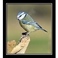 bluetit bird nature carlsbirdclub somerset england uk carl bovis