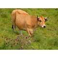 cow nature France august summer countryside field grass flowers landscape