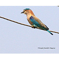 indian roller dandeli karnataka india