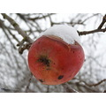 apple snow autumn fruit