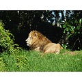 lion animal wildlife zoo