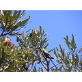 Red Cap Parrots Birds Banksia Tree