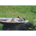finches birds birdbath nature
