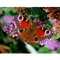 peacock butterfly taddiport devon