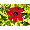 cosmos flower red redfph autumn