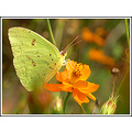 butterfly cloudlesssulphur yellow