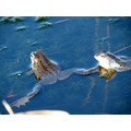 Series Nature Water Animals Frogs