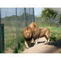 Lion Male BreedingCentre Antelope Park