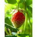 iran nature strawberry