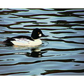 rerflectionthursday nature golden eye duck
