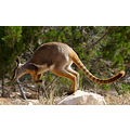 yelow footed rock wallaby marsupial animal australia mammal